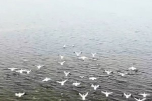 В Астрахани мигрирует розовый пеликан